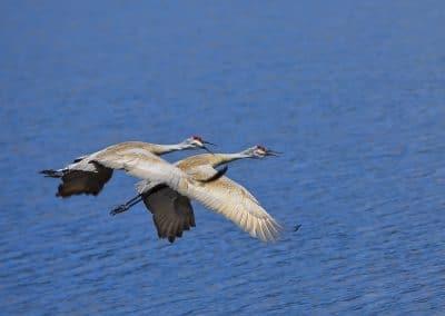 Sandhill Cranes, Smith Lake, MT